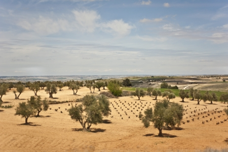 Fields in Spain with olive trees under the blue sky   photo