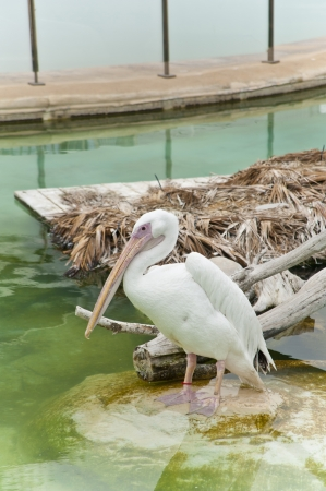 A pelican in The Oceanographic Park in Valencia,Spain  photo