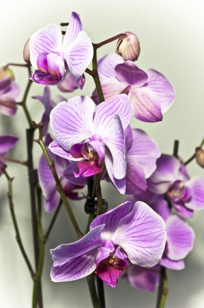 Twigs of orchid  with pink flowers  photo