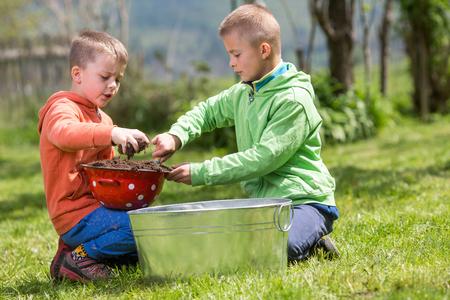Brüder bereiten kleine Behälter vor, um Kartoffeln in zu wachsen. Familienwerte, gesundes Lebensmittel, Anheben und Heranwachsen des Konzeptfotos. Standard-Bild - 77491677
