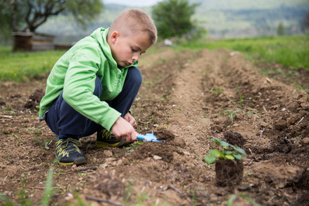 Young boy is planting a seedling of strawberry in a home field.  Home grown fruit and vegetables, biodynamic farming, organic horticulture concept photo. Standard-Bild