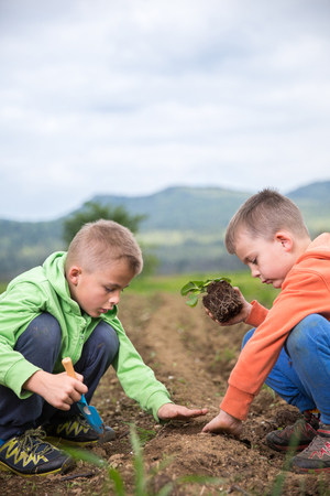 Brothers are plantings a seedling of strawberry. Home grown fruit and vegetables, biodynamic farming, organic horticulture concept photo. Stock Photo