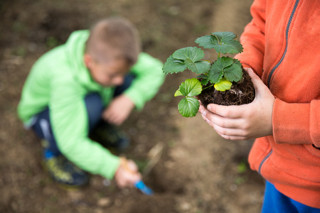 Brothers are plantings a seedling of strawberry. Home grown fruit and vegetables, biodynamic farming, organic horticulture concept photo. Standard-Bild