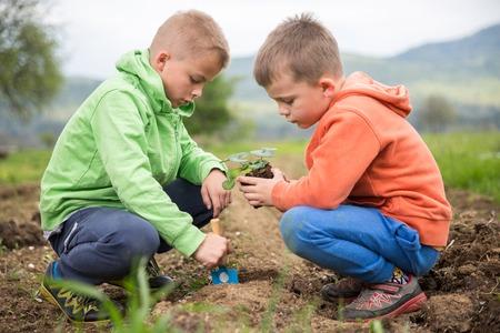 Brüder sind Pflanzungen ein Sämling von Erdbeere. Haus angebaute Obst und Gemüse, biodynamische Landwirtschaft, Bio-Gartenbau Konzept Foto. Standard-Bild - 77482750
