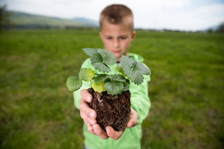 Young boy is holding a seedling of strawberry, ready to plant it in a backyard. Home grown fruit and vegetables, biodynamic farming, organic horticulture concept photo.