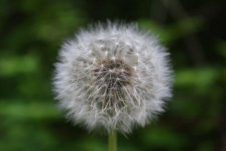 blowball: Blowball Stock Photo