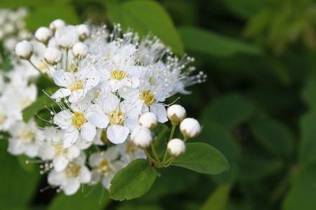 beautiful white flowers of bush