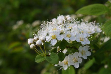 charming white flowers of bush Zdjęcie Seryjne