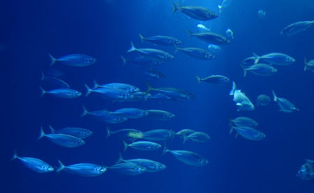 Herring in a swarm in a marine aquarium in blue optics Archivio Fotografico