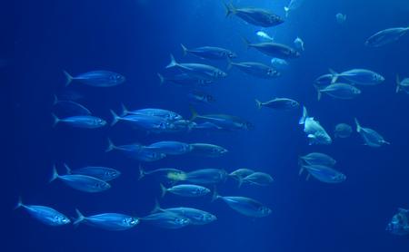 Herring in a swarm in a marine aquarium in blue optics Banque d'images