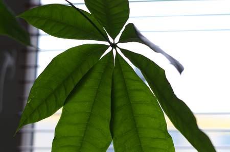 Money tree (Pachira aquatica) houseplant in front of a curtain with green optic macro leaf