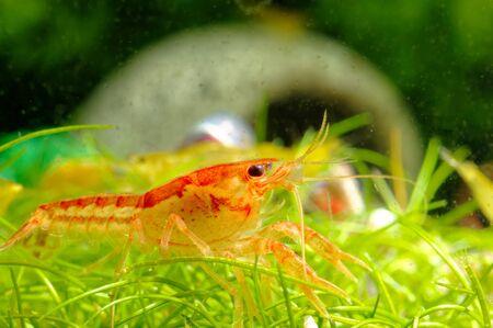 Cambarellus patzcuarensis var. Orange in freshwater aquarium