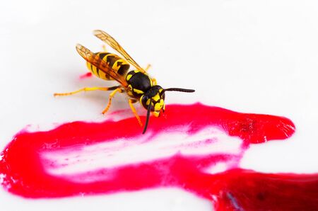 Wasp eating on a strawberry sauce as a macro Stock Photo