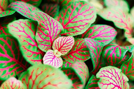 Fittonia albivenis mosaic plant silver net leaf houseplant as a macro with bright colors Stock fotó