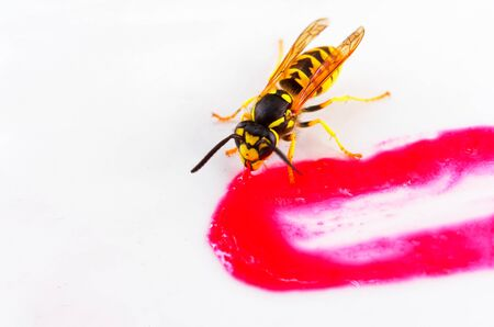 Wasp eating on a strawberry sauce as a macro Stock fotó
