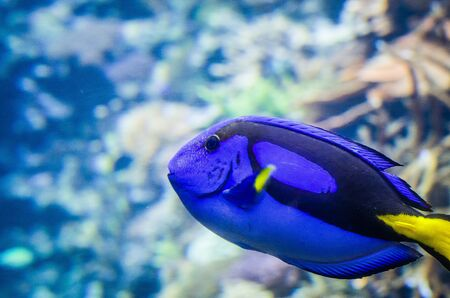 Tropical Fish Dorie in a marine aquarium in blue optics Paracanthurus hepatus
