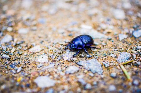 Dung beetle in the forest in the macro Standard-Bild