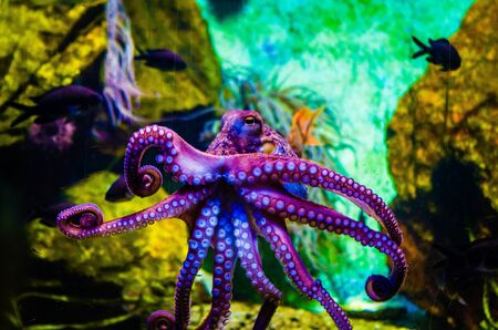 Octopus in a sea water aquarium squid in blue sea water