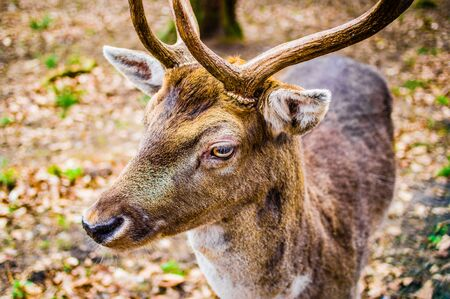 Young deer with antlers and macro