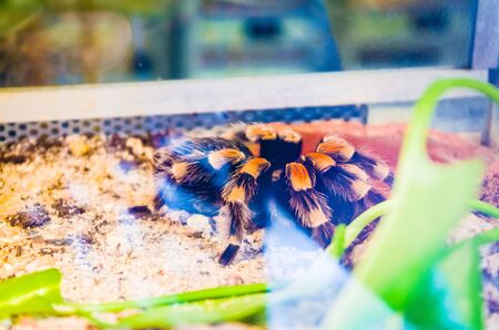 Tarantula in a terrarium with orange markings Standard-Bild