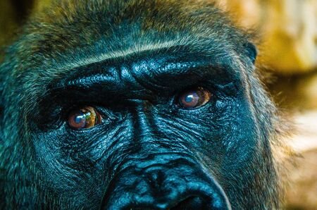 Close-up of a lowland gorilla with eyes and face