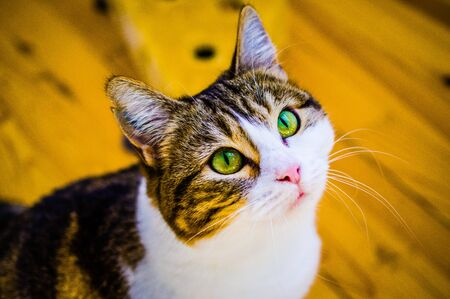 European shorthair cat with a penetrating look and green eyes Standard-Bild - 143734436