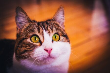 European shorthair cat with a penetrating look and green eyes Standard-Bild - 143734514