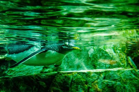 Humboldt penguin in a zoo at swimming Standard-Bild - 145672341