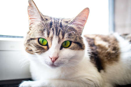European shorthair cat with a penetrating look and green eyes Standard-Bild - 155574082