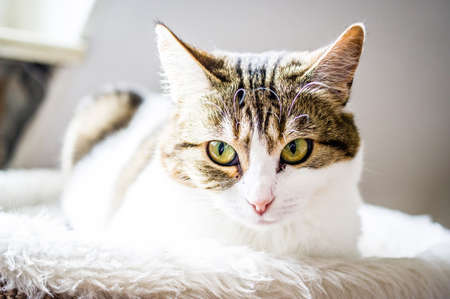 European shorthair cat with a penetrating look and green eyes Standard-Bild - 155574127
