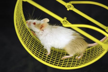mouse animal: Mouse on wheel