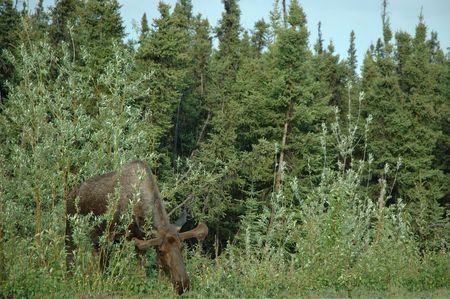 A moose browses vegitation near a clearing Zdjęcie Seryjne