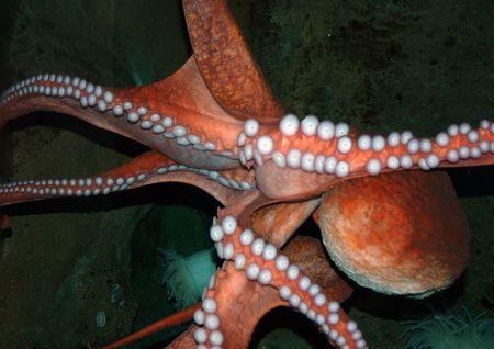 beine spreizen: Octopus Spreads tenticles Anzeigen Ansauggebl�se Discs
