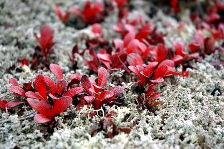 Arctic lichens and bearberry leaves during the Fall in Interior Alaska.