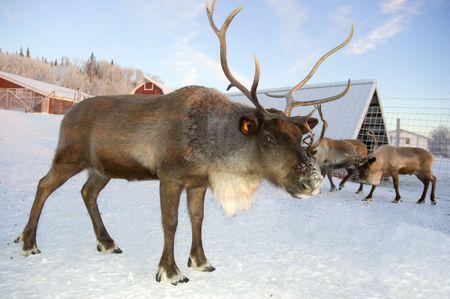 reindeer: Una renna sta controllando la sua terra per situazioni di pericolo.  Archivio Fotografico