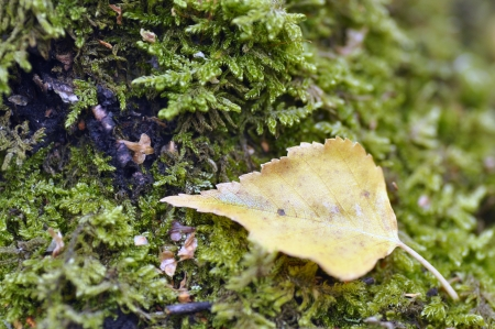 Birch leaf resting on moss on tree stump.