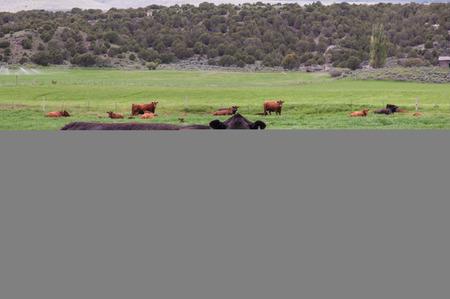 Cow in field Stok Fotoğraf