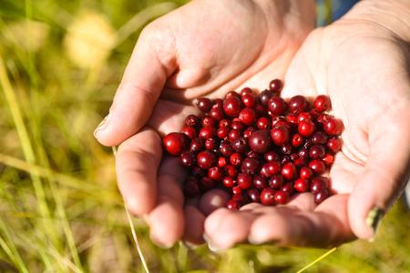 crop harvest: Cranberries