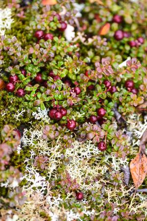 vaccinium macrocarpon: Low bush cranberries growing in the Alaskan tundra.