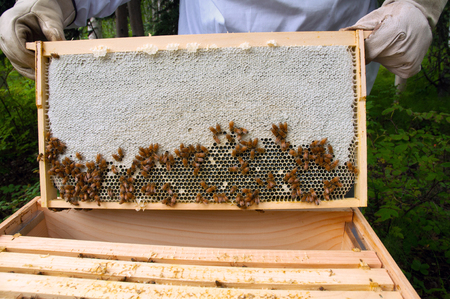 Honey frame being pulled from a hive