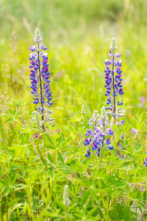 Lupines growing in a field near the Cook Inlet, in Alaska.