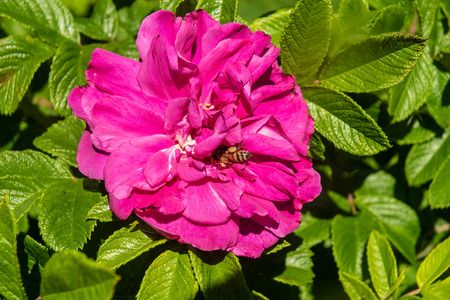 A bee collects nectur for a bright pink rose. Reklamní fotografie