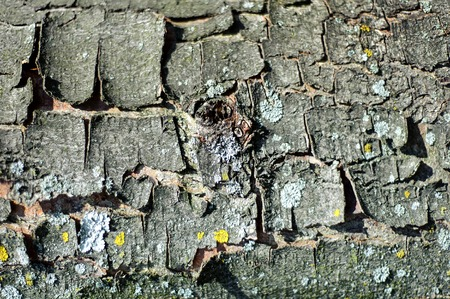 Texture of bark wood use as natural background.