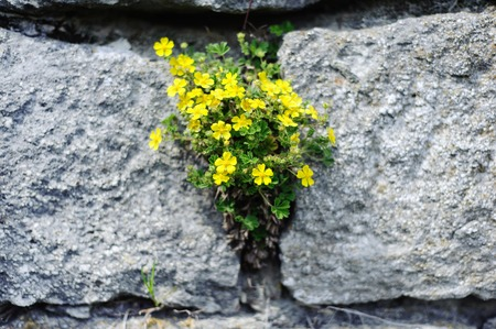 Yellow flowers on the large grey stones.