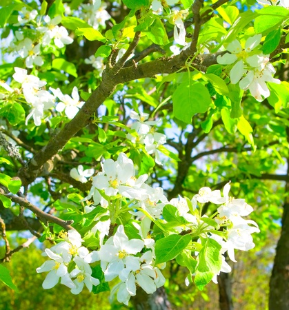 flowering of apple trees in the spring photo