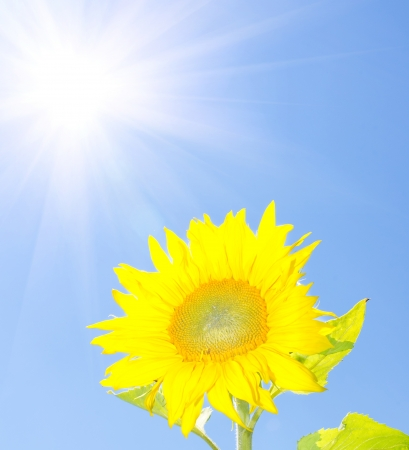 Yellow sunflower on a blue sky background  photo