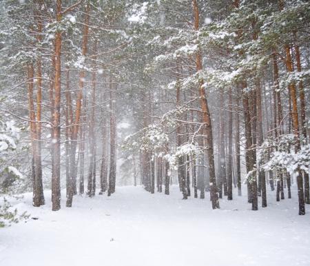 blizzard: Starken Schneesturm in einem Kiefernwald