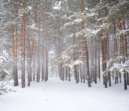 winter forest: Strong snowstorm in a pine forest