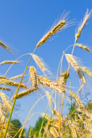 golden wheat ears against blue sky Stock Photo - 15278611