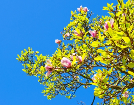 Spring blossoms of Chinese magnolia tree photo